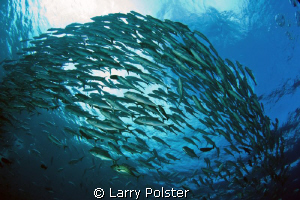 More schooling jacks at barracuda point. D300-Tokina 10-17mm by Larry Polster 